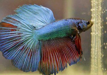 8 Cara Jitu Budidaya Ikan Cupang Rumahan Untuk Bisnis
