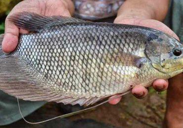 5 Cara Budidaya Ikan Gurame Dapat Untung Besar